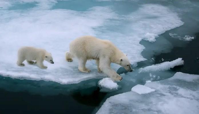 polar bear lifespan