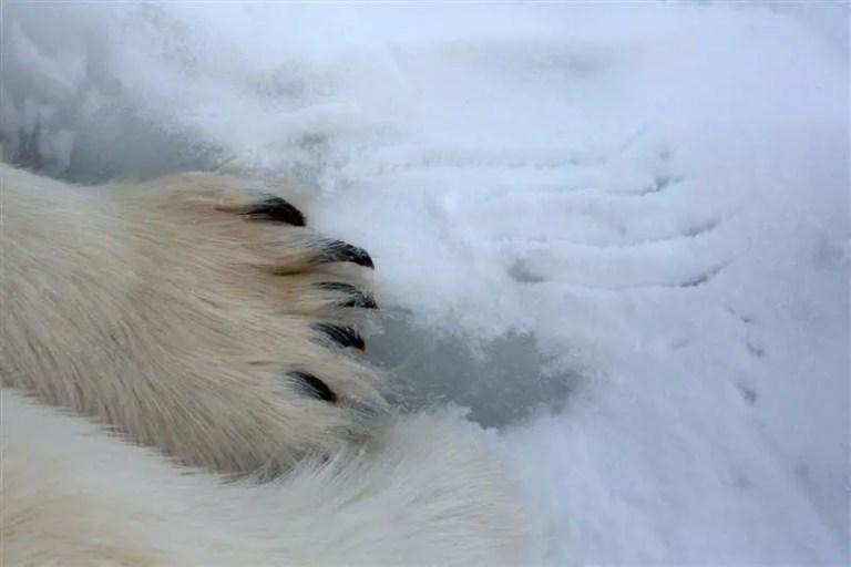 Polar Bear Claws | How Long are Polar Bear Claws?