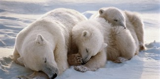how do polar bears protect themselves