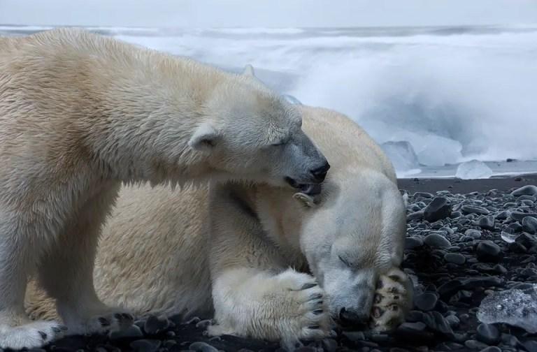How Big is a Male Polar Bear? – Male Polar Bear Size