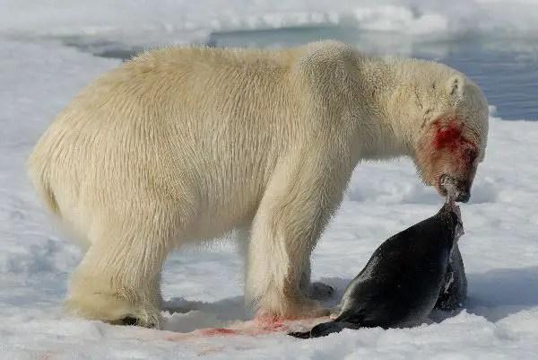 What Seals Do Polar Bears Eat? – Polar Bear Primary Diet