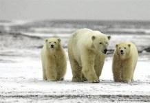 49 polar bear facts for kids
