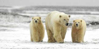 49 polar bear facts for kids