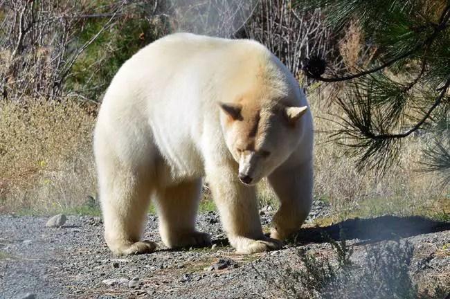 Grolar Bear Facts – Grolar Bear Cubs, Description, Features