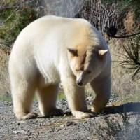 Grolar Bear Facts - Grolar Bear Cubs, Description, Features