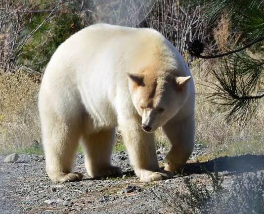 grolar bear facts