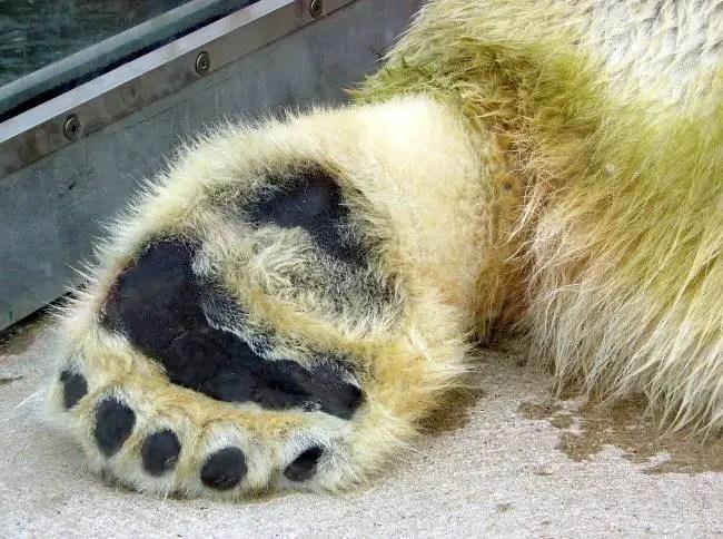 Why Do Polar Bears have Large Feet?