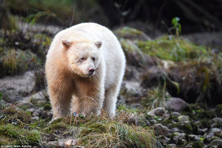 How Many Species of Polar Bears are there? – Polar Bear Species