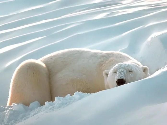 How Long Do Polar Bears Hibernate?