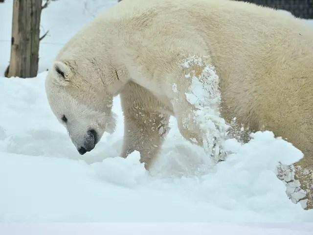 How Many Legs Does a Polar Bear have?