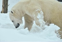 how many legs does a polar bear have?