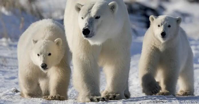 Do Polar Bears Scream When they Poop?