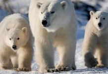 do polar bears scream when they poop?