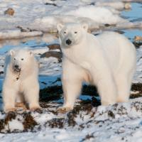 Can Polar Bears Survive in Warm Climates?