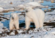 can polar bears survive in warm weather?