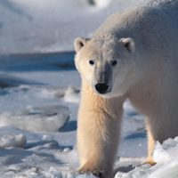 5 Facts about Polar Bears – Top 5 Unbelievable Polar Bear Facts