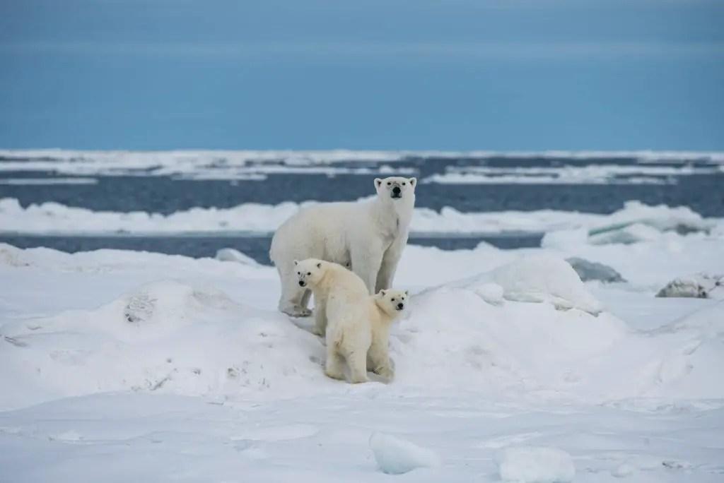 how many babies do polar bears have?