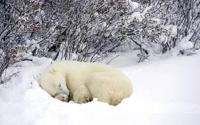 Where Do Polar Bears Sleep? – Polar Bear Sleeping Location