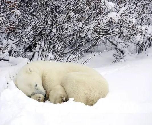 where do polar bears sleep?
