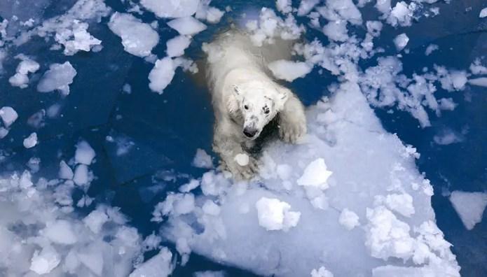 How Far Can a Polar Bear Swim? – Polar Bear Swim