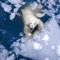 How Far Can a Polar Bear Swim? - Polar Bear Swim