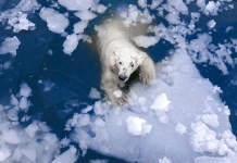 how far can a polar bear swim?
