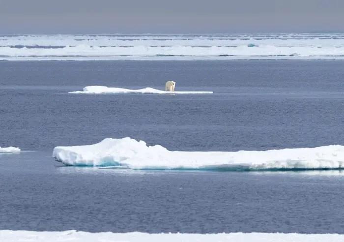 how far can a polar bear swim?