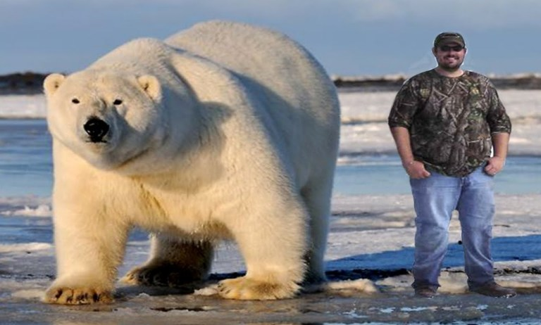 Largest Polar Bear on Record –Biggest Polar Bear Ever