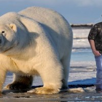 Largest Polar Bear on Record –Biggest Polar Bear Ever
