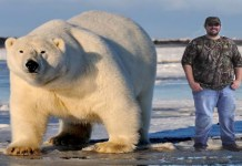 largest polar bear found