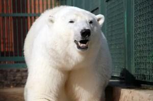 SIBERIAN TIGER VS POLAR BEAR