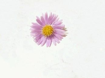 lila-blomma-32