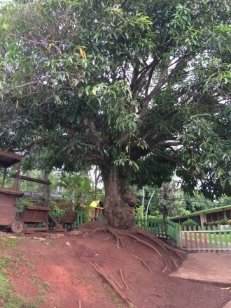 big ol' mango tree on the school property