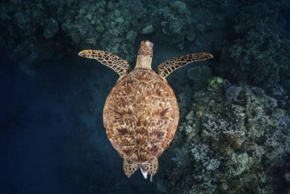 Green turtle in matara