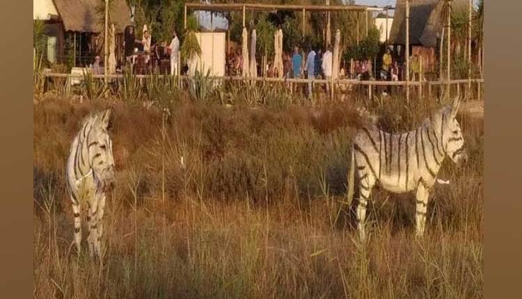 Donkey-Zebra
