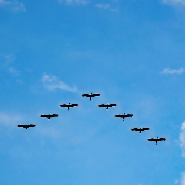 image of birds flying in formation to depict Universal Credit managed migration webinar from DWP