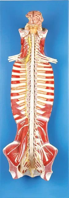 Spinal Cord in the Spinal Canal Human Anatomy Model ...