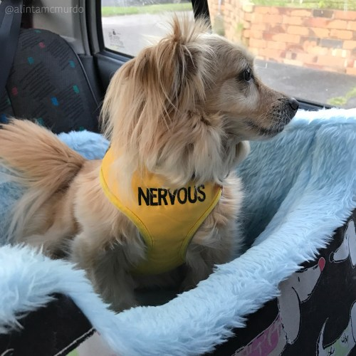 Pickles wearing the Friendly Dog Collars nervous harness and sitting in the I Can See Dog Car Seat