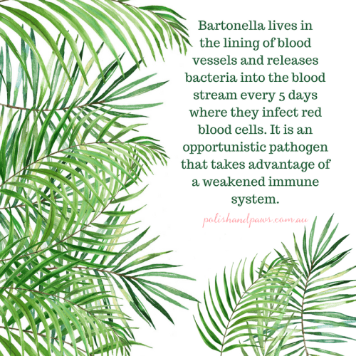 Bartonella lives in the lining of blood vessels and releases bacteria every 5 days where they infect red blood cells. It is an opportunistic pathogen that takes advantage of a weakened immune system.