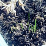 Chives = Spring is Here