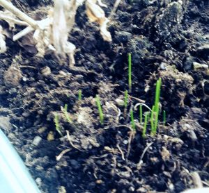 chives = spring