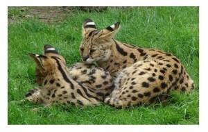 Serval-1