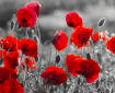 poppies Memorial Day
