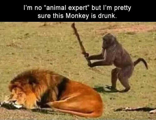 im-no-animal-expert-but-im-pretty-sure-this-monkey-is-drunk-about-to-hit-lion