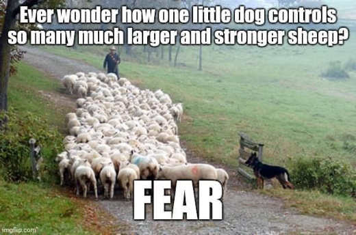 ever wonder how one little dog controls much larger sheep fear