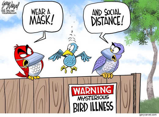 angry birds wear mask social distance bird illness