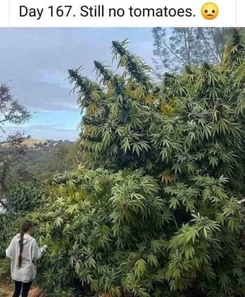 still no tomatoes pot marijuana plant