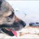 Psi detektuju zaražene koronavirusom
