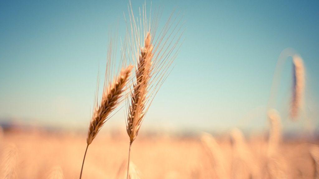 """""""Opet će se obogatiti preprodavci i tajkuni"""": Robne rezere u Srbiji ponudile otkup pšenice po 23,50 dinara kada su je proizvođači prodali po 20"""