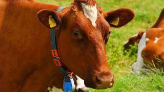 Stočari u Srbiji zbog jeftinog mleka rasprodaju krave